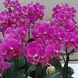 호접란 미니딜라이트.가지.(사랑스러운형).(귀여운 핑크색).화려한색.예쁜색.고급스러운색.고급종.인기상품|