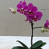 호접란 미니딜라이트.가지.(사랑스러운형).(귀여운 핑크색).화려한색.예쁜색.고급스러운색.고급종.인기상품.|