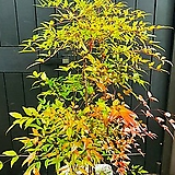 가을을 알리는 반려식물 남천~높이 140cm 전후