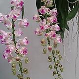 에어리데스.꽃대.(예쁜핑크색복카시).(아주좋은향)꽃사진보다 더예쁨.인기상품.|