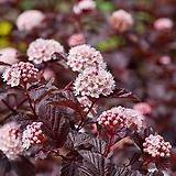 정원 인테리어 포인트 묘목 국수나무 레이디인레드|