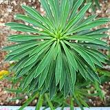 괴마옥1433|Euphorbia hypogaea