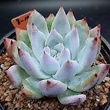 야생콜로라타 묵은둥이|Echeveria colorata