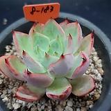 스트릭트플로라 묵은둥이|Echeveria strictiflora v nova