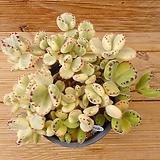 웅동자금|Cotyledon tomentosa f. variegata