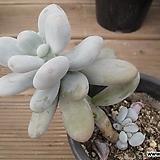 문스톤   00896|Pachyphytum Oviferum Moon Stone