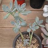 석연화   00867|Pachyveria Pachyphytodies