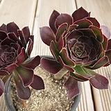 흑법사   00817|Aeonium arboreum var. atropurpureum