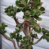 미니달마청법사 |Aeonium arboreum