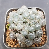 자옵투샤0832|Haworthia var. obtusa(purple)