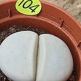 백곡옥 리톱스08091|Lithops
