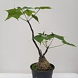 피르미아나콜로라타(firmiana colorata)|