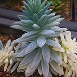 Sedeveria cv. Supar brow