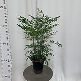 남천나무 95cm|