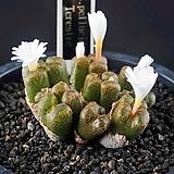 4560-C.pellucidum Terestre  테레스트레|