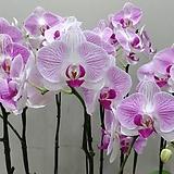 호접란 티니허니.꽃형큰형.대륜 핑크.(핑크스트라이프색에 빨강립술).꽃만개.인기상품.|