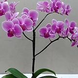 호접란.유니웨딩.꽃만개.(사랑스러운형).(귀여운 핑크색).고급종.잘나오지않는품종.상태굿.인기상품.|