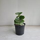 멕시코베고니아/공기정화식물/반려식물/온누리 꽃농원|