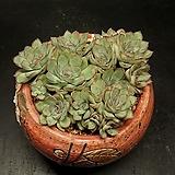 황홀한연꽃-17두(8.10)|Echeveria pulidonis
