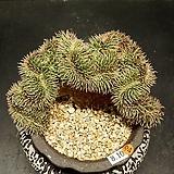 필리페럼철화(포리페럼-8.10)|Graptopetalum filiferum