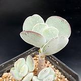 사랑(방울복랑교배종)|Cotyledon orbiculata cv