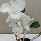 카틀레야 흰색예쁜꽃.순백색꽃.흰색대형꽃.신상품입고.아주예쁜색.고급종. 킹 대형종.향기아주좋은향.고급종.잘않나오는 품종.인기상품.|