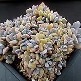 큐빅프로스티 철화 8-378|Echeveria pulvinata Frosty