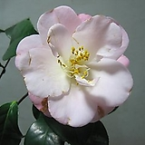 꽃몽우리 나오고 있는 도태랑동백C1071-외목대,동일품배송 Echeveria cv Momotarou