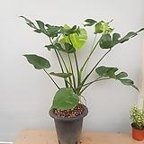몬스테라      잎사귀가 독특해요  동일상품발송|