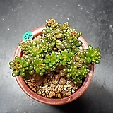 레드베리|Sedum Rubrotinctum Redberry