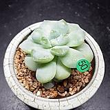 아이시그린|Echeveria Ice green