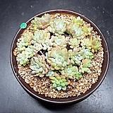 아모에나|Echeveria amoena