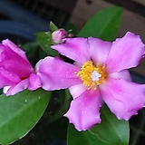 석화 꽃기린 [외목대 ]|