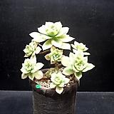 플로레센스 11두|Aeonium Floresense