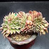 까라솔철화|Aeonium decorum f variegata