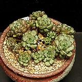 묵은 홍포도-16두(8.11)|Graptoveria Ametum