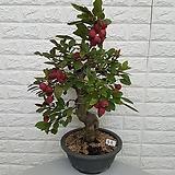 ♥홍옥 사과나무 150 ♥동일품배송 