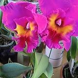 카틀레야.타이완킹(진핑크에빨강립술).아주예쁜색.색상환상.꽃대형종.향기좋은향.고급종.잘않나오는 품종.인기상품|