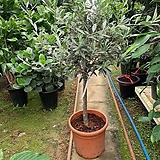 토피어리 올리브 외목대 올리브나무100cm|