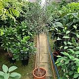토피어리 올리브 외목대 올리브나무 150cm|