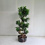 가지마루펜다/공기정화식물/반려식물/온누리 꽃농원|