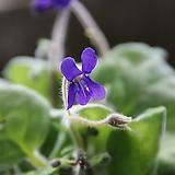 암동제비꽃 