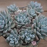 후레뉴 묵은한몸(대품) Pachyphytum cv Frevel