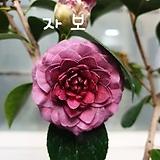 ♥자보 동백나무28 ♥동일품배송 