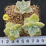 Graptoveria Harry Watson