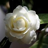 ♥동백 버터민트 ♥크림색 겹꽃 