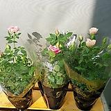 명품핑크장미(여름세일 ) 꽃이 피고지고해요  한정수량