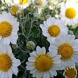 향소국(흰꽃)-가을이|