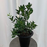 유주나무 화분 중 65cm|