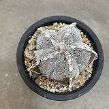 온즈카 난봉옥 동일식물|